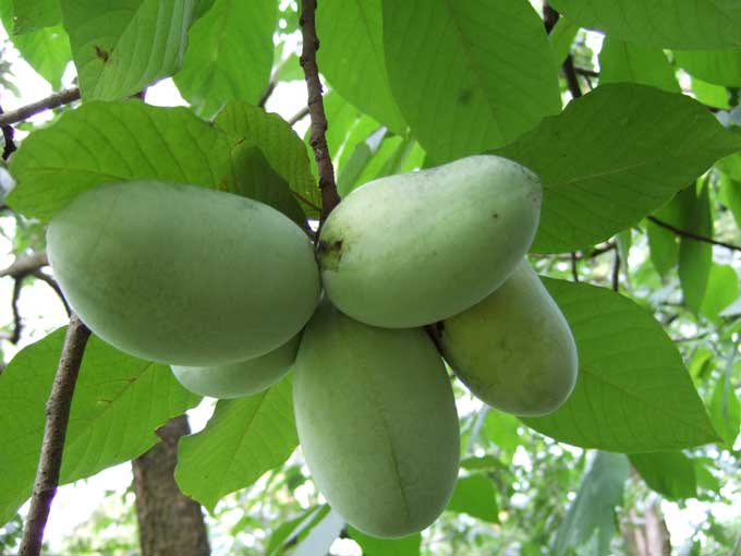 Attractive Best Fruit Trees For North Carolina Part - 1: Fruit And Nut Trees