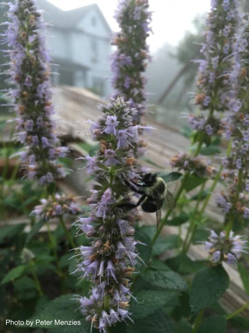 Bumblebee on Agastche